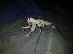 Baline, Adult Female Idolomantis diabolica