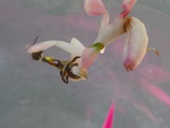 L4 Orchid Mantis Eating Bee