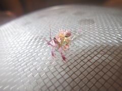 spiny flower mantis l5