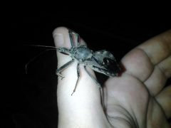sinny The adult female wheel Bug  arilus cristatus