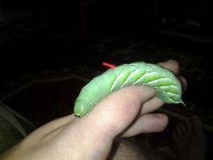 Tomato Hornworm for sale!