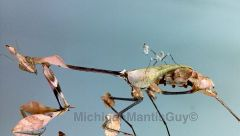 Gongylus gongylodes adult female & her L1 nymph