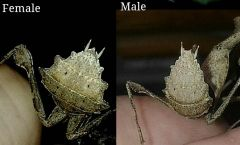 Difference between male and female deroplatys lobata