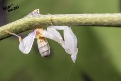 Hymenopus coronatus (4th Instar Female)