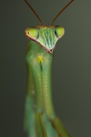 Chinese Mantis