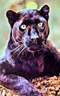 oPan2 (Panther with head cocked to one side)