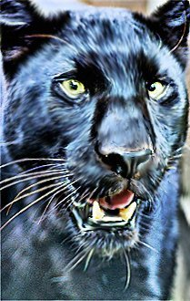 oPan3 (Panther with mouth partially open)