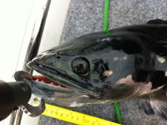 Giant Snakehead Head Shot