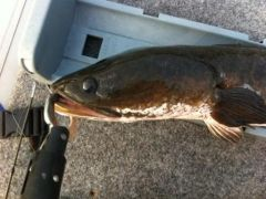 Why they call them snakehead.
